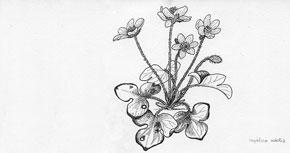 Dibuix botànic